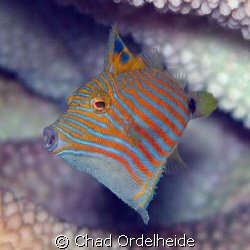 Juvenile Orange Lined Trigger (2 cm tall). I love the lit... by Chad Ordelheide 